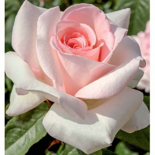 Rosier Prince Jardinier ® Meitroni Avec motte