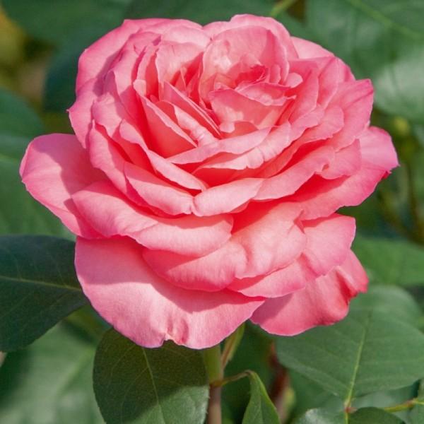 Rosier Panthère Rose ® Meicapinal Avec motte