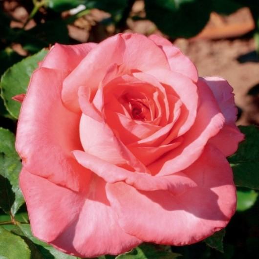 Rosier Arthur Rimbaud ® Meihylvol Avec motte