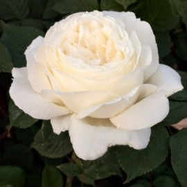 Rosier Jeanne Moreau ® Meidiaphaz Avec motte