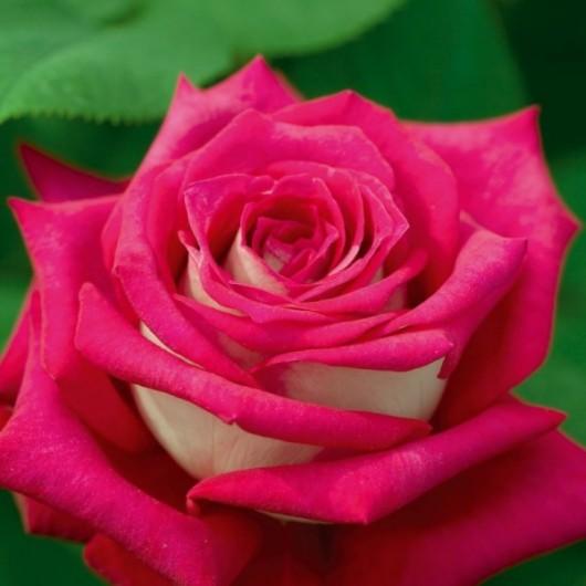 Rosier Monica Bellucci ® Meimonkeur Avec motte
