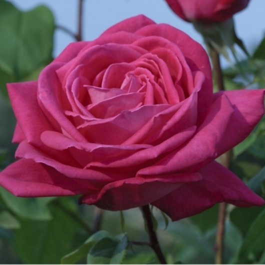 Rosier Lolita Lempicka ® Meizincaro Avec motte