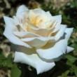 Rosier Jardins de Bagatelle ® Meimafris Avec motte