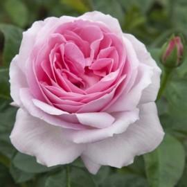 Rosier Pink Eureka ® Meiagadou Avec motte