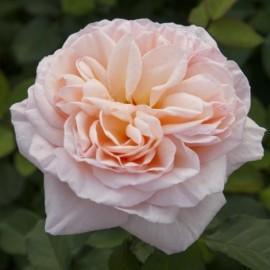 Rosier Belle Romantica ® Meigapencey Avec motte