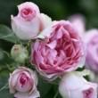 Rosier Grimpant mini Pierre De Ronsard ® Meibigboni avec motte