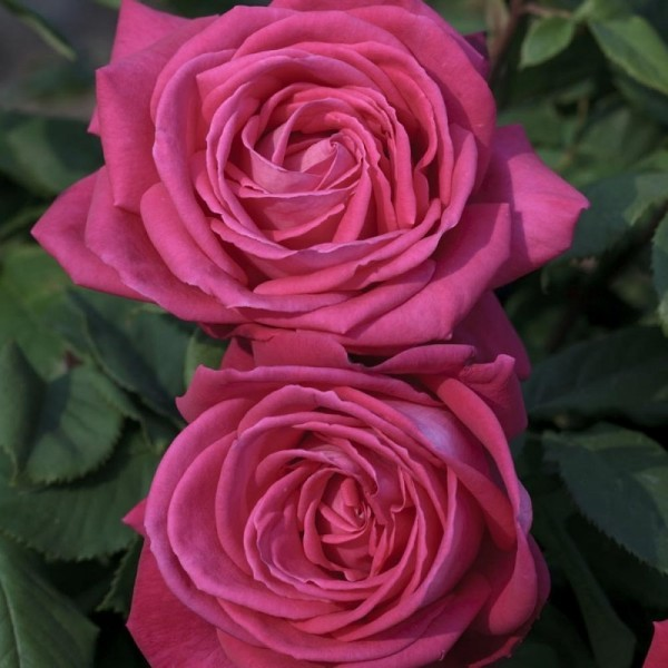 Rosier Grimpant Lolita Lempicka ® Meizincarosar Avec motte