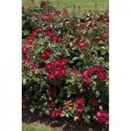 Rosier Cherry Bonica ® Meipeporia Avec motte
