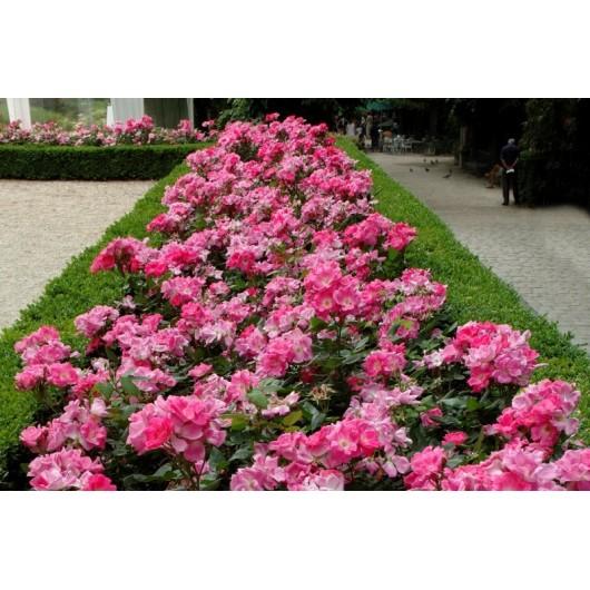 Rosier Rodin ® Meigadraz Avec motte