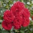 Rosier Scarlet Bonica ® Meiscarlebo Avec motte