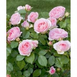 Rosier Sophia Romantica ® Meisselpier Avec motte