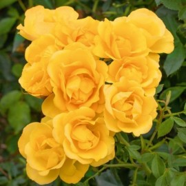 Rosier Rayon de Soleil ® Meianycid Avec motte