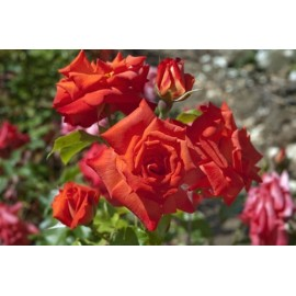 Rosier Rusticana ® Poppy Flash Avec motte
