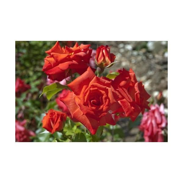 Rosier Rusticana ® Poppy Flash Avec motte