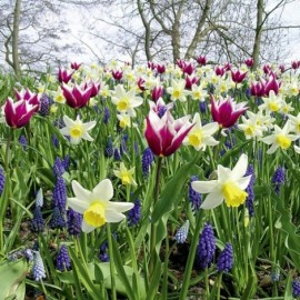 50 bulbes assortiment Champetre Tulipes