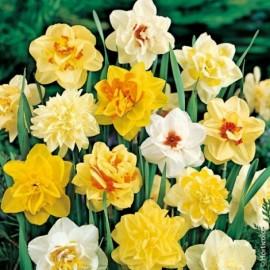 Narcisse double en mélange Le lot de 20