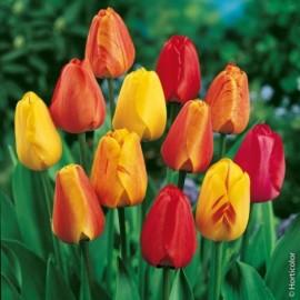 Tulipes Doubles à Fleurs de Pivoines en mélange Le lot de 15 bulbes