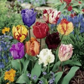 Tulipes Perroquet en mélange Le lot de 15