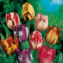 Tulipes Rembrandt en mélange Le lot de 10