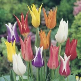 Tulipes à Fleurs de Lys en mélange Le lot de 15