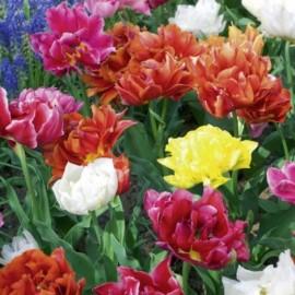 Tulipes Doubles Hatives en mélange Le lot de 10 bubles