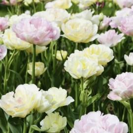 Tulipes Doubles à Fleurs de Pivoines Mélange Symphonie Le lot de 15 bulbes