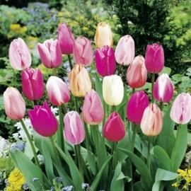 Tulipes Triomphe Pastel en mélange Le lot de 20