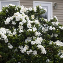 Gardenia Crown Jewel Le conteneur de 1