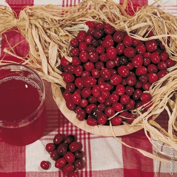 Cranberry Le Plant Le conteneur