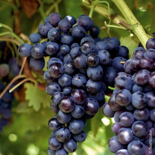 Vigne de Table Muscat de Hambourg Le conteneur de 1