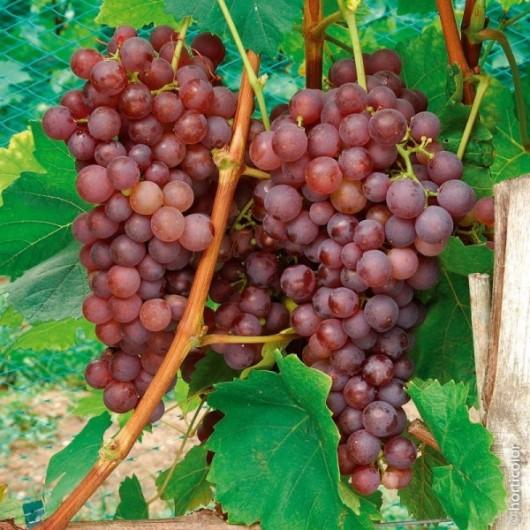 Vigne de Table Chasselas Rose Le conteneur de 1
