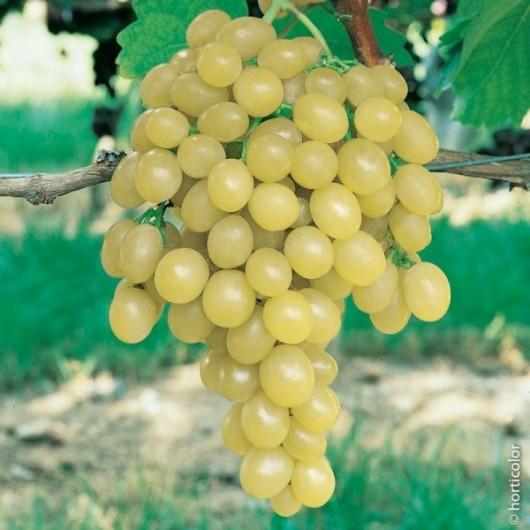 Vigne de Table Italia Le conteneur de 1