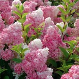 Hortensia paniculata Vanille Fraise ® Renhy Le conteneur 1