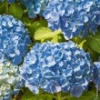 Hortensia Macrophylla Bodensee Le conteneur  de 1