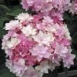 Hortensia Macrophylla You And Me ® Romance Le conteneur de 1