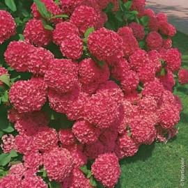 Hortensia Macrophylla Sybilla Le conteneur de 1